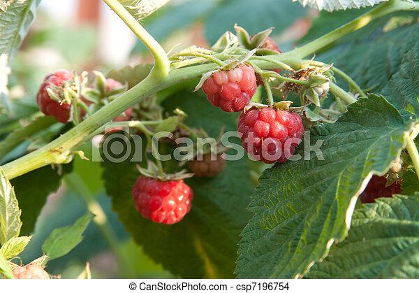 raspberry - csp7196754