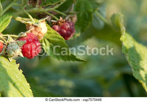 raspberry - csp7570449