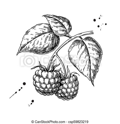 Raspberry Drawing Clip Art