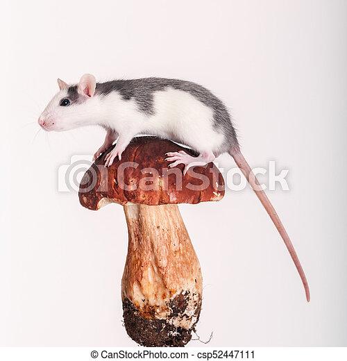 rat on the cap - csp52447111