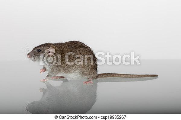 rat on the glass - csp19935267