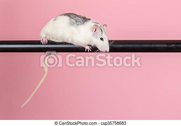 rat sitting on a black tube - csp35758683
