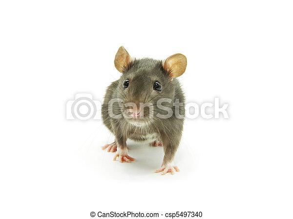 Rata - csp5497340