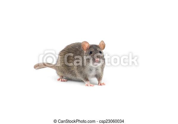 Rata - csp23060034