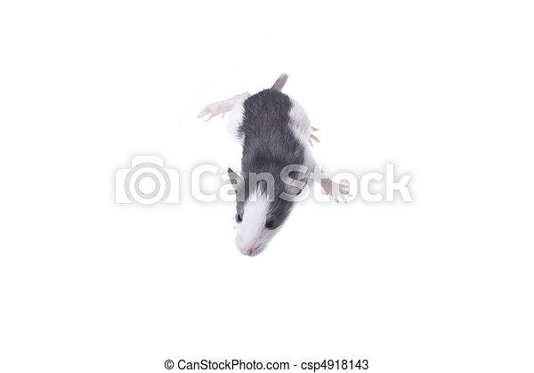 Rata - csp4918143