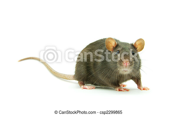 Rata - csp2299865