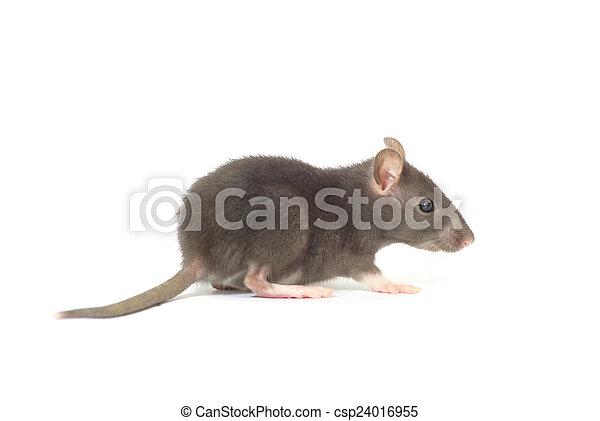 Rata - csp24016955