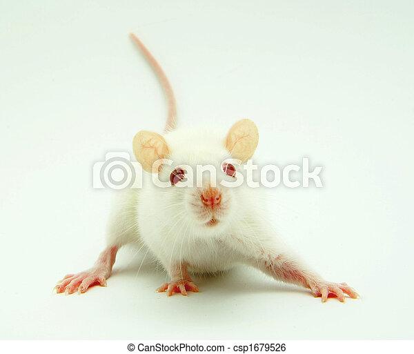 Rata blanca - csp1679526