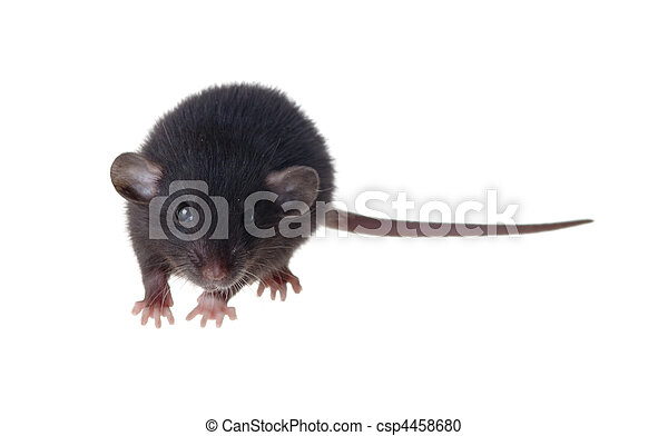 Rata negra de raza Dumbo - csp4458680
