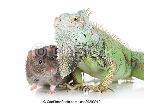 Iguana con rata en un fondo blanco - csp39293910
