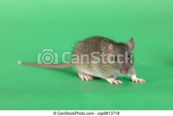 Rata en un fondo verde - csp9813718