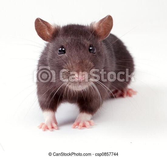 Rata - csp0857744