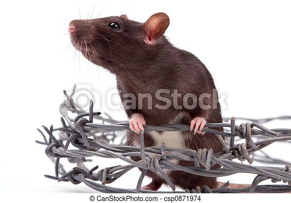 Rata - csp0871974