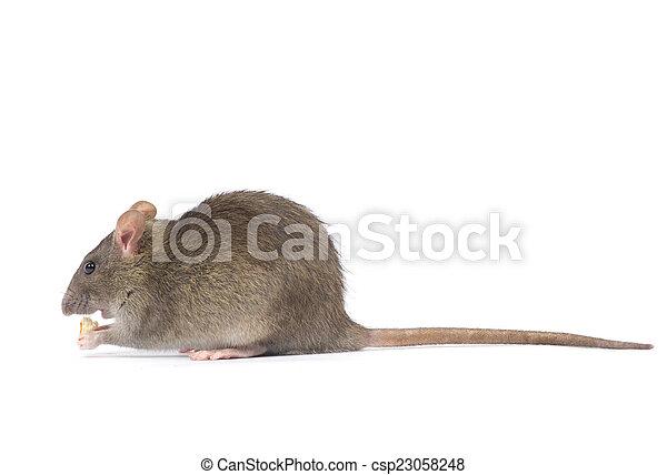 Rata - csp23058248