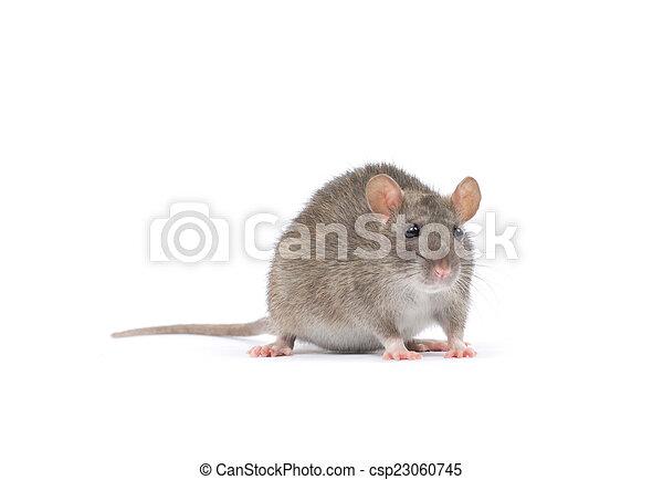 Rata - csp23060745