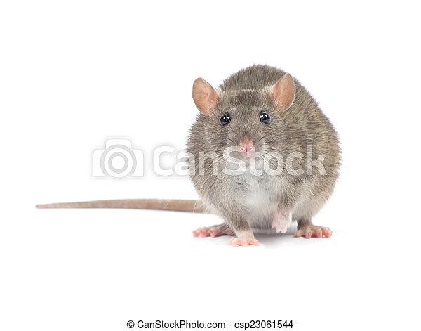 Rata - csp23061544