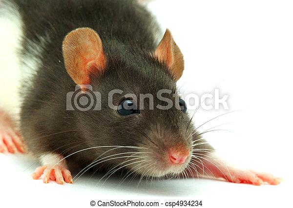 Rata - csp4934234