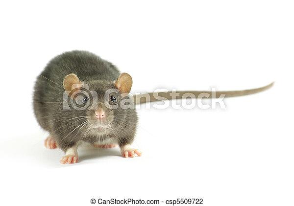 Rata - csp5509722