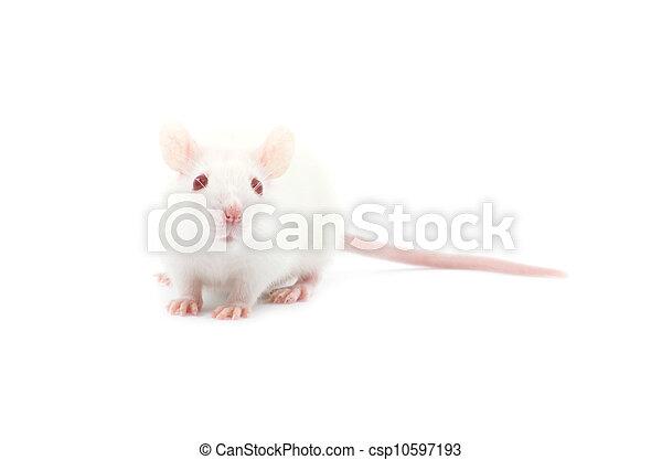 Rata - csp10597193