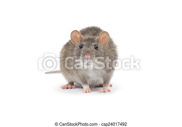 Rata - csp24017492