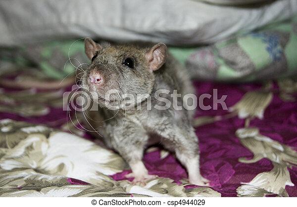 Rata - csp4944029