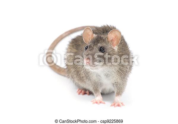 Rata - csp9225869