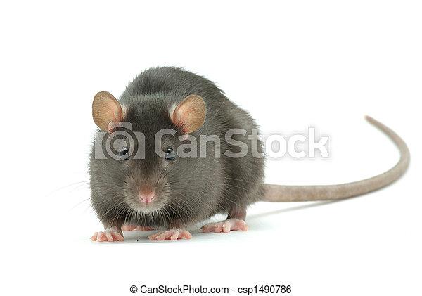 Rata - csp1490786