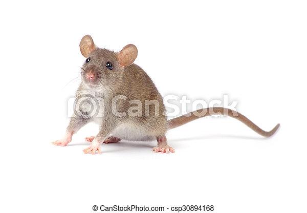 Rata - csp30894168