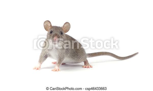 Rata - csp46433663