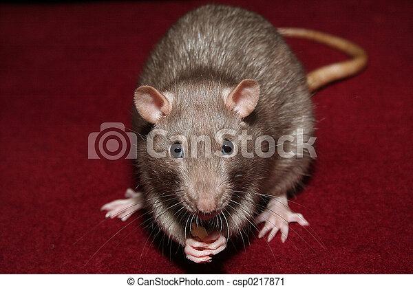 Rata - csp0217871