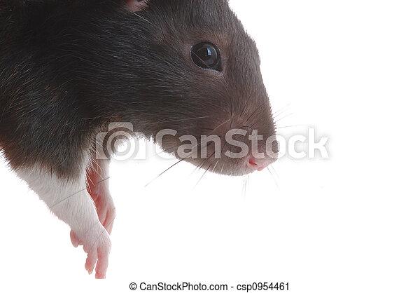 Rata - csp0954461