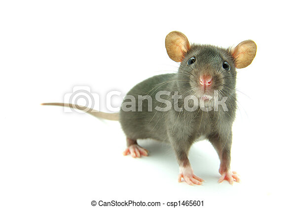 Rata - csp1465601
