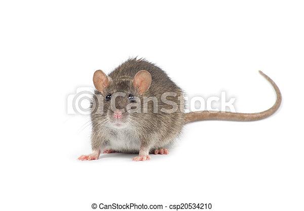 Rata - csp20534210