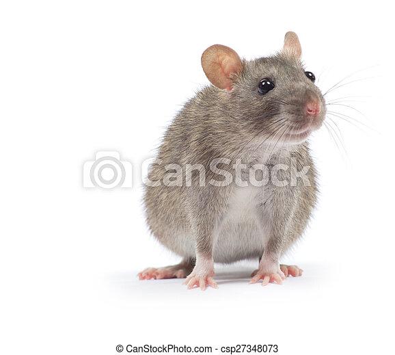 Rata - csp27348073