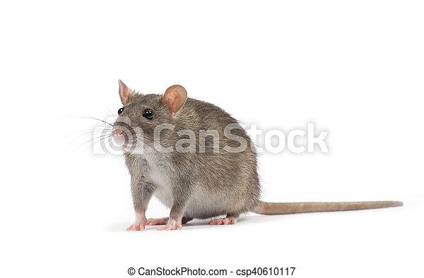 Rata - csp40610117