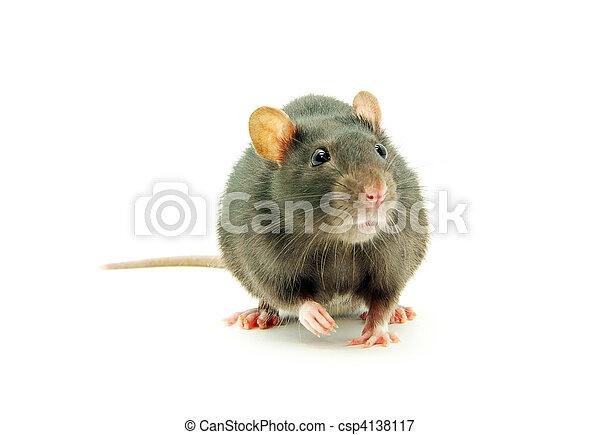 Rata - csp4138117