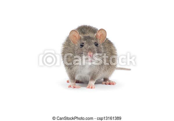 Rata - csp13161389