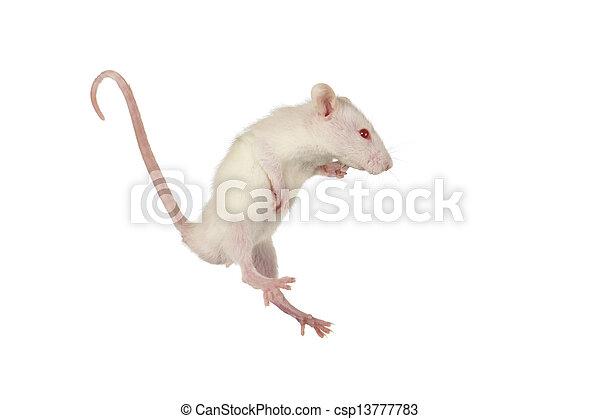 Rata - csp13777783