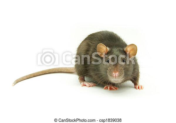 Rata - csp1839038