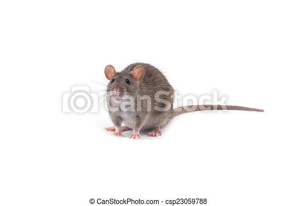 Rata - csp23059788