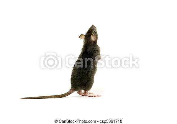 Rata - csp5361718