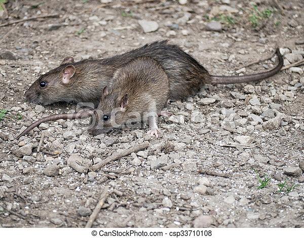 Ratas - csp33710108