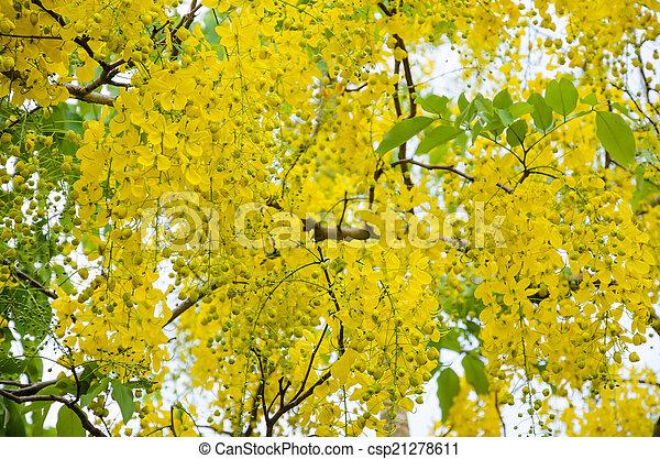 Ratchaphruek Arbre Jaune Purging Cassia Fleurs Ou Beau