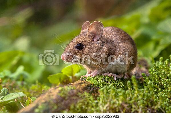 rato, madeira, natural, habitat - csp25222983
