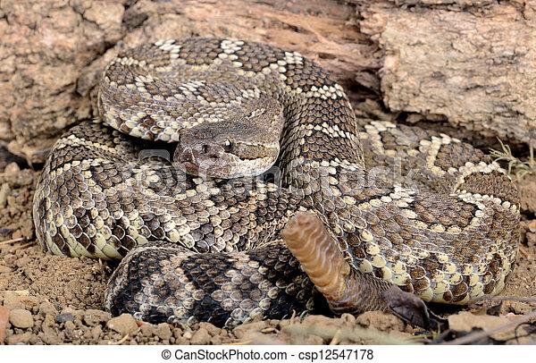 rattlesnake., südlicher pazifik - csp12547178