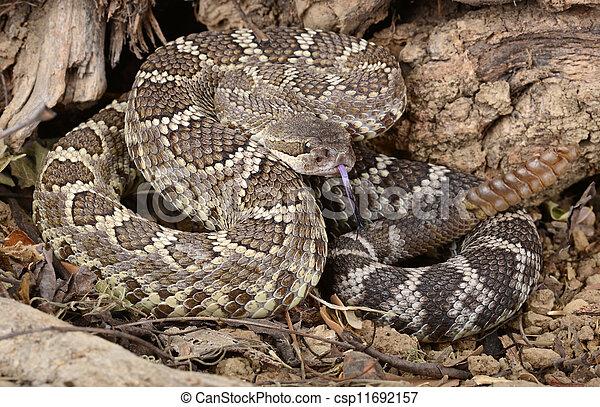 rattlesnake., südlicher pazifik - csp11692157