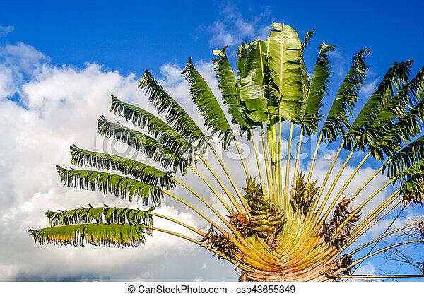 Ravenala Palm Symbol Of Madagascar Ravenala Palm Called Also