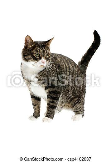 rayé, chat - csp4102037