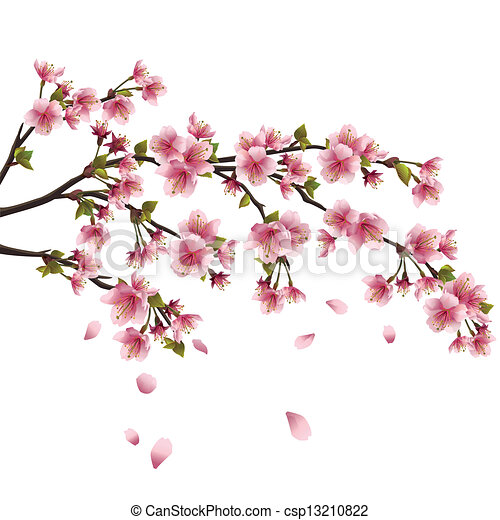 Realistic sakura blossom - Japanese cherry tree with flying petals isolated on white background - csp13210822