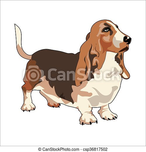 Realistic Vector Drawing of Basset Hound - csp36817502